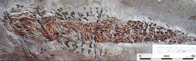 Dorsetichthys bechei