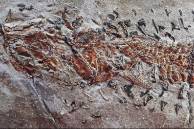 Fossil of Clarkeiteuthis montefiorei and fish 2