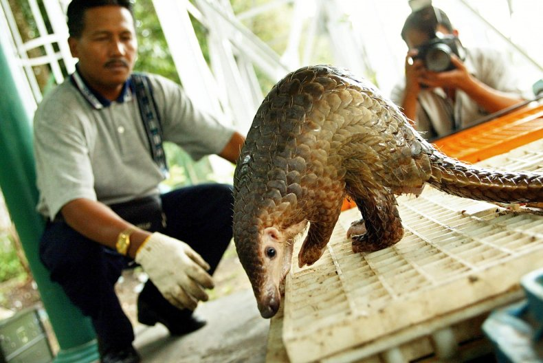 Malayan pangolin conviscated by Malaysian officials