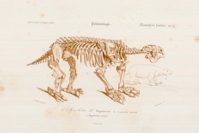 Illustration: skeleton of giant sloth