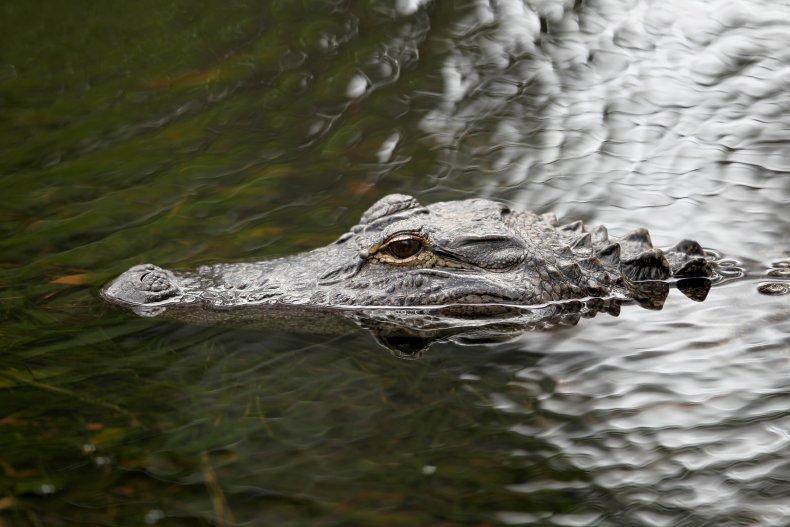 alligator, Hilton Head Island, South Carolina, 2014