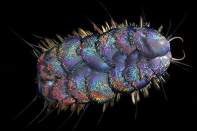Peinaleopolynoe orphanae, scale worm