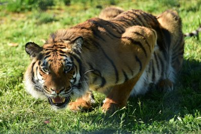 A crouching tiger