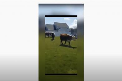 Cows in Cicero
