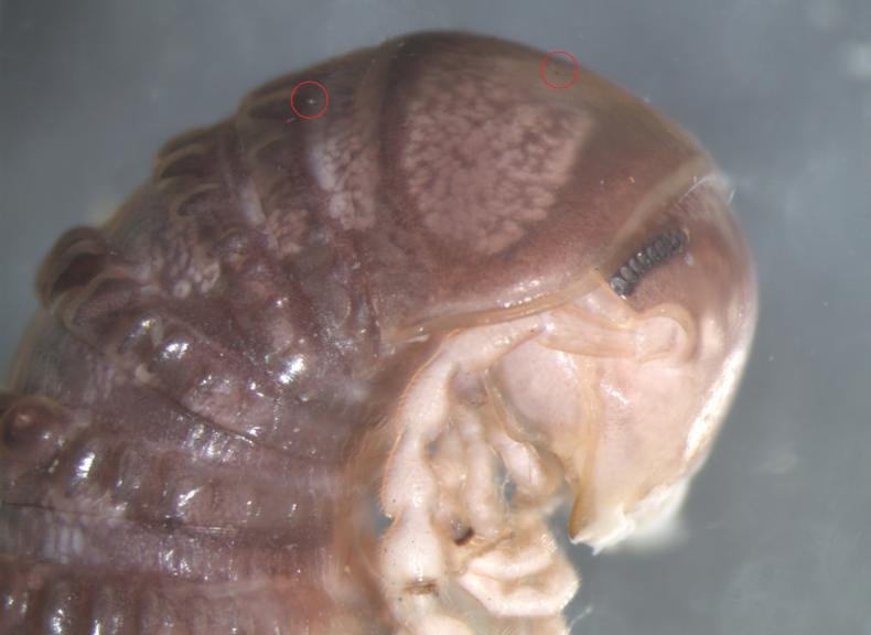 Cambala annulata millipede