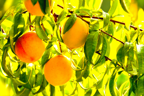 Newsweek AMPLIFY  - Top 10 Citrus Trees for your Home