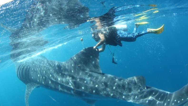 whale shark, Rio Lady