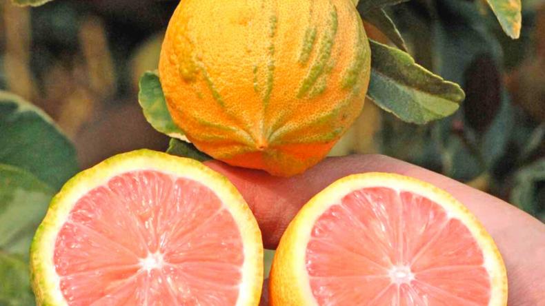Pink Variegated Lemon Tree