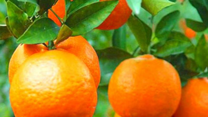 Ponkan Mandarin Tree