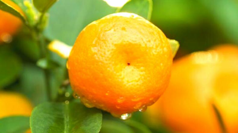 Sunburst Tangerine Tree