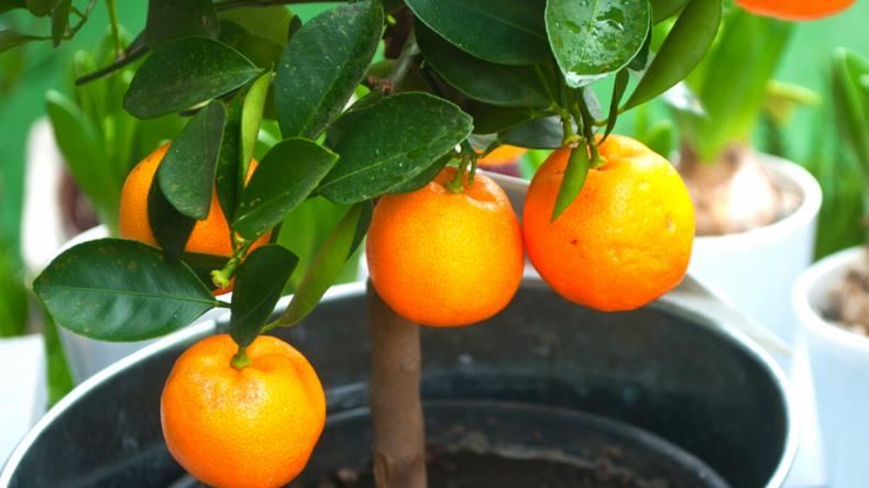 Washington Navel Orange Tree