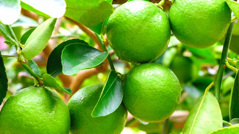 Dwarf Persian (Bearss) Lime Tree