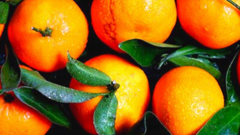 Hamlin (Louisiana) Sweet Orange Tree