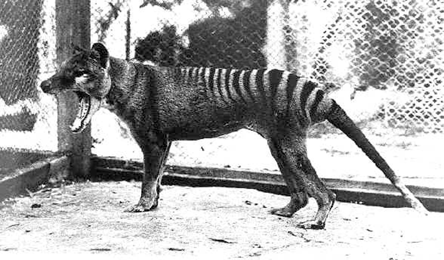 what caused the extinction of the tasmanian tiger