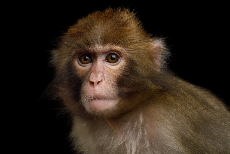monkey, stock, macaque, getty