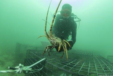 European spiny lobster