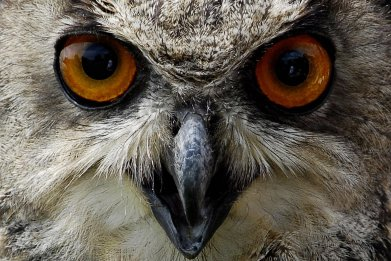 eurasian-eagle-owl