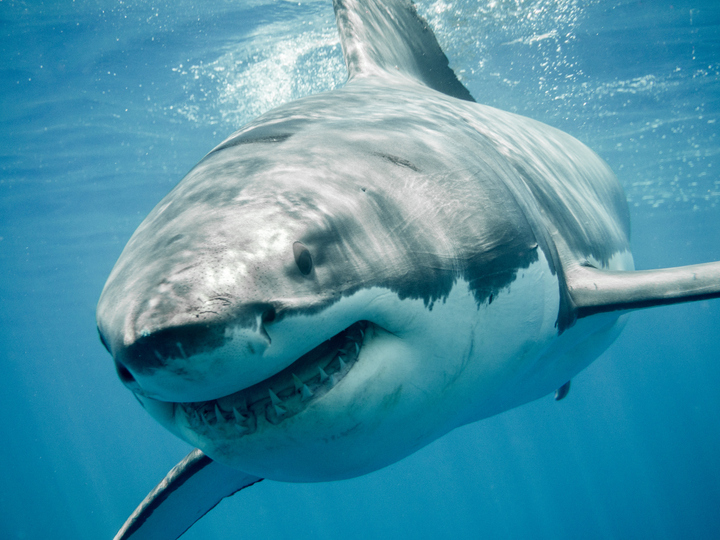 Prehistoric Great White Shark Nursery Discovered in Chile - Newsweek