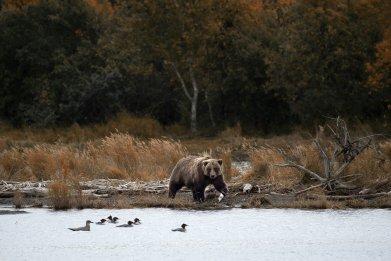Brown Bear in Alaska