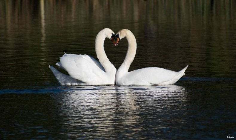 Swan finds love during lockdown