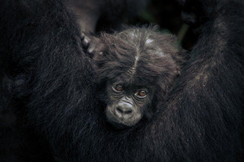 baby Grauer's gorilla