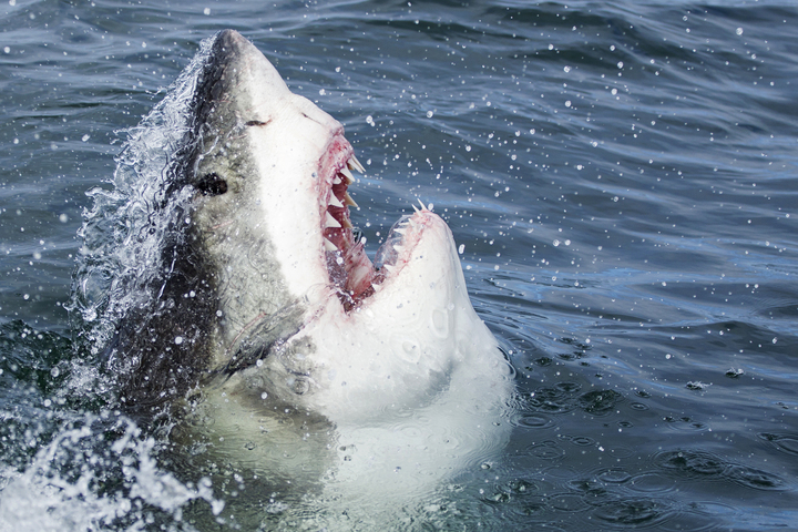 False bay great white sharks may not have left because of killer whale attacks