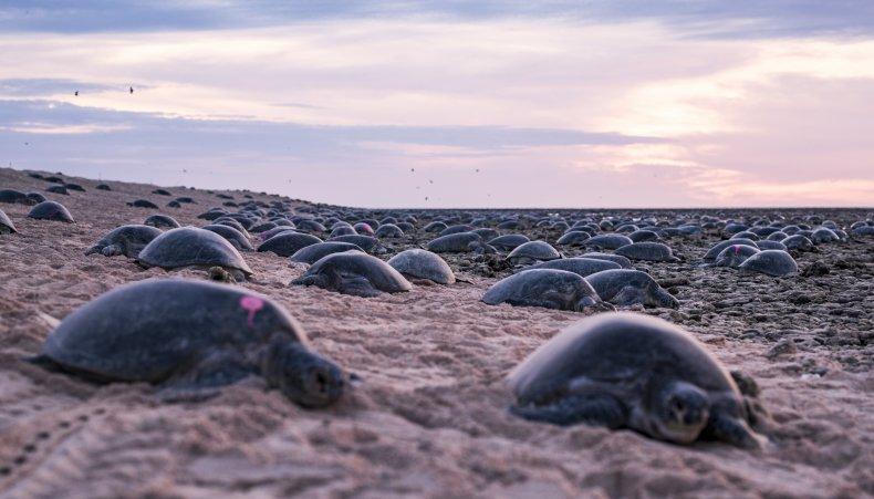 green sea turtles, Raine Island, Australia