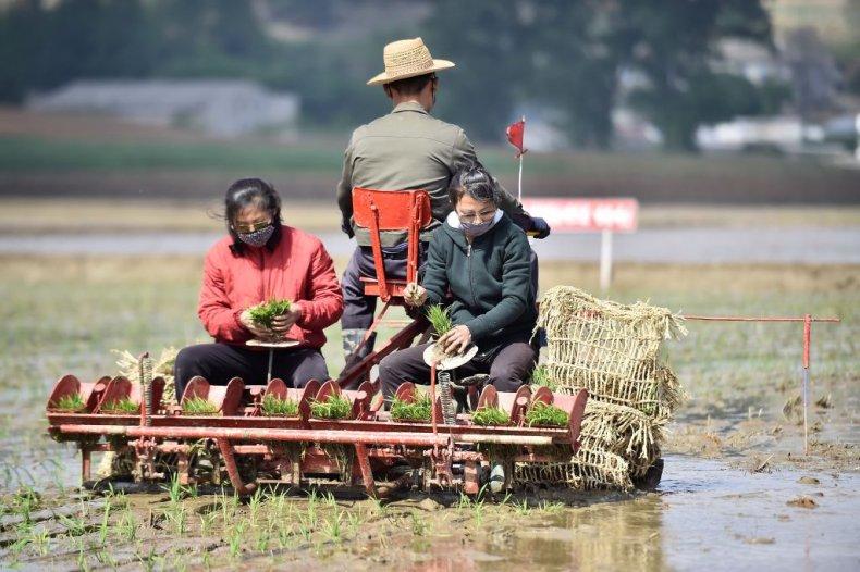 Rice Planters in North Korea