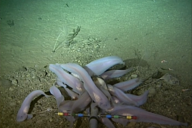 snailfish, Kermadec Trench