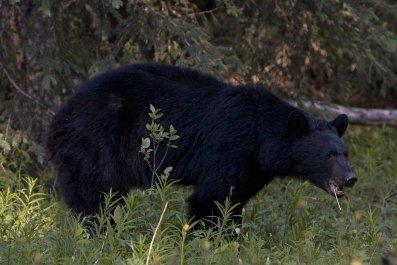 Black Bear in Canadian Rockies