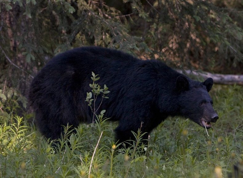Black Bear in Canadian Rockies