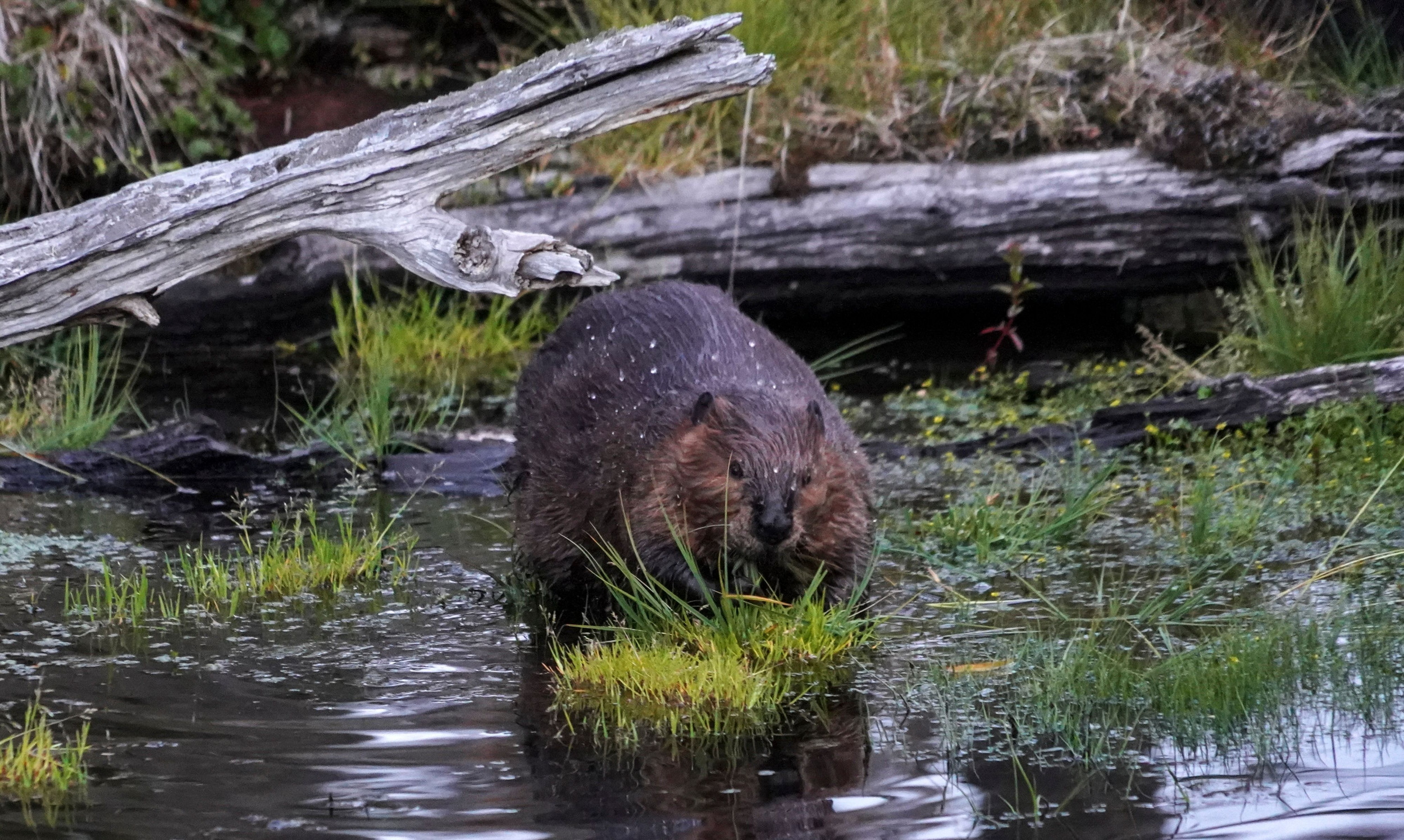 Beavers born in English county 'for first time in 400 years' say conservationists