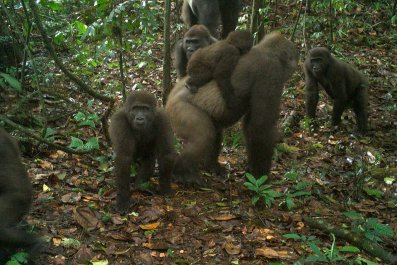 cross-river-gorillas