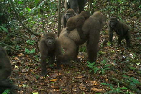 cross-river-gorillas