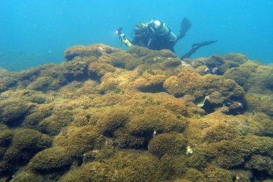 new algae species hawaii