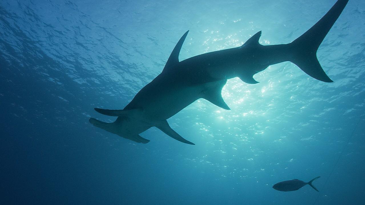 Sharks filmed inside underwater volcano just after eruption