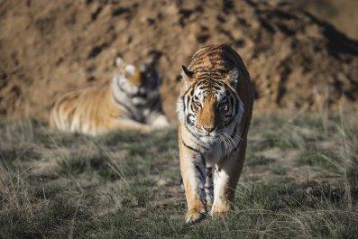 Tiger King rescued tigers animal sanctuary Colorado