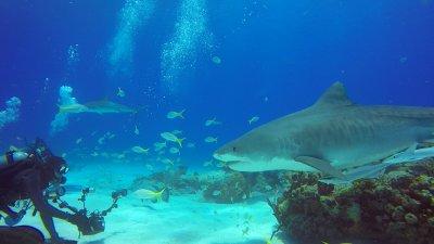 Sharks, great white sharks, ocean, filming