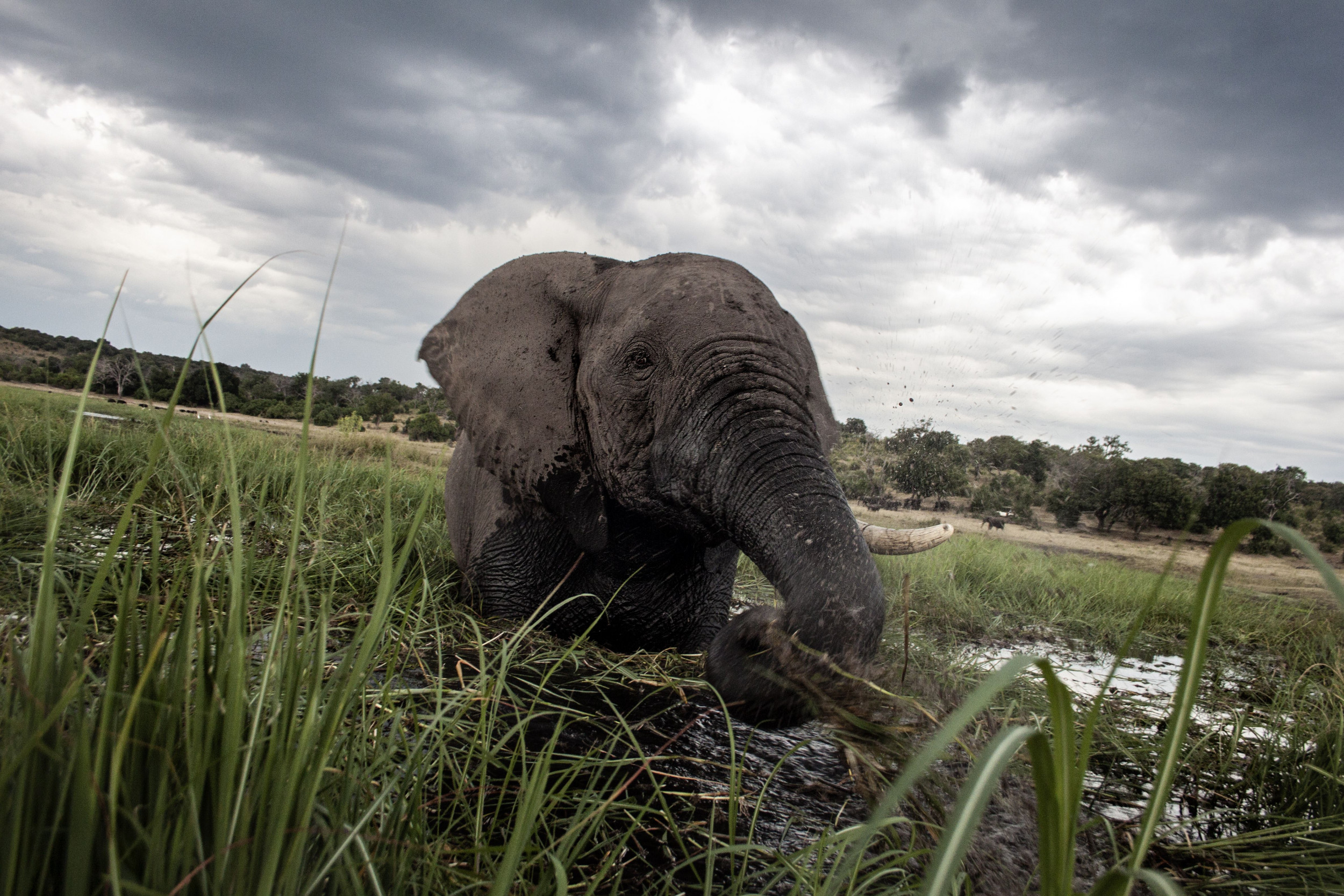 Elephant mass death could be caused by new pathogen—with small risk of it passing to humans