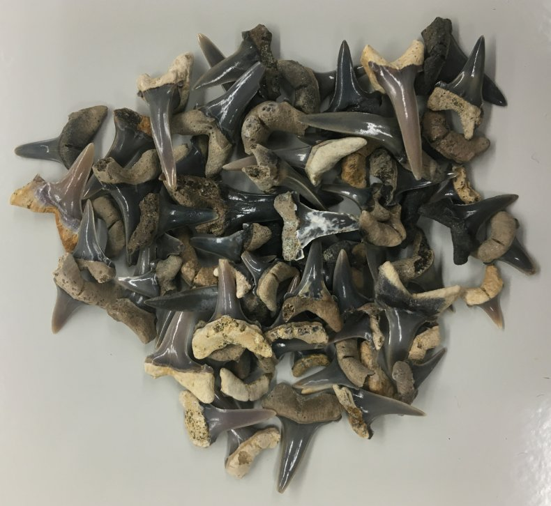 ancient shark teeth