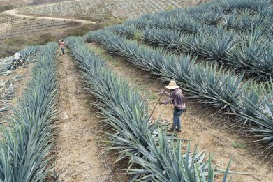 Getty Images Tequila Production In Sayula Amida