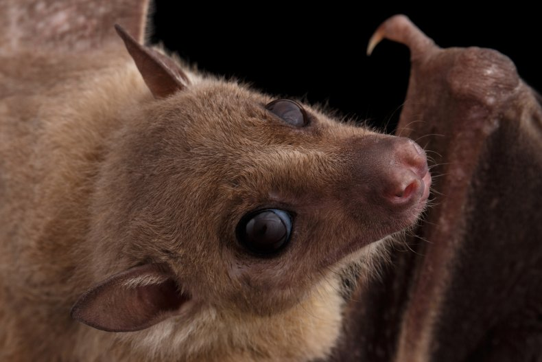 getty, stock, bat, Egyptian fruit bat, rousette