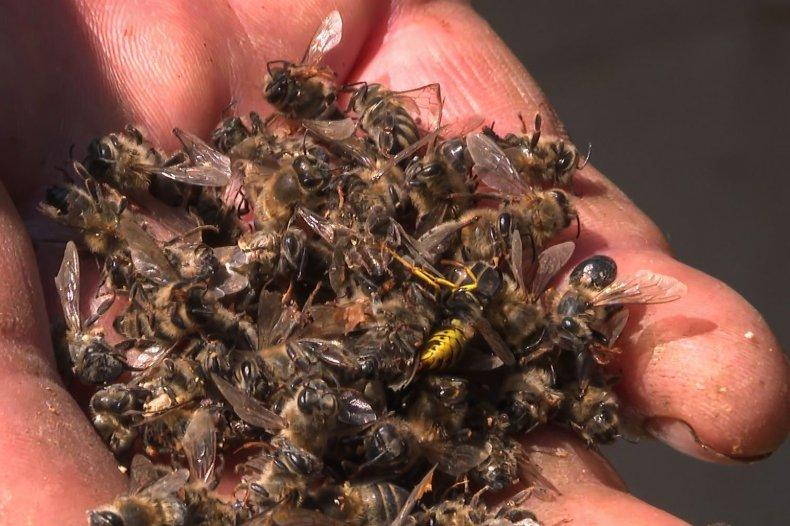 dead honeybees