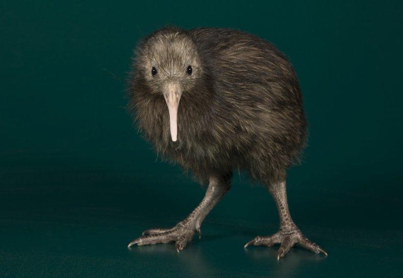 brown-kiwi