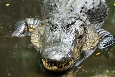 Large alligator in water