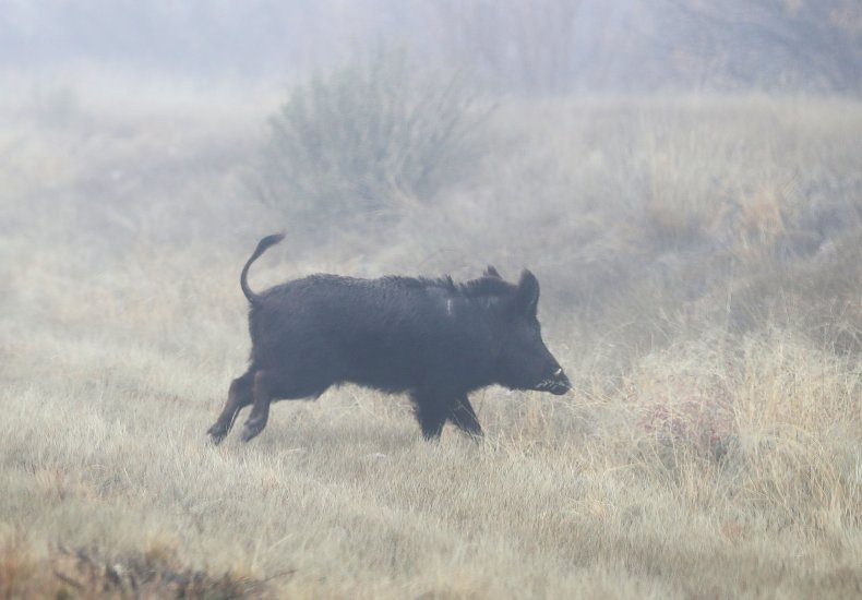 wild-boar-texas