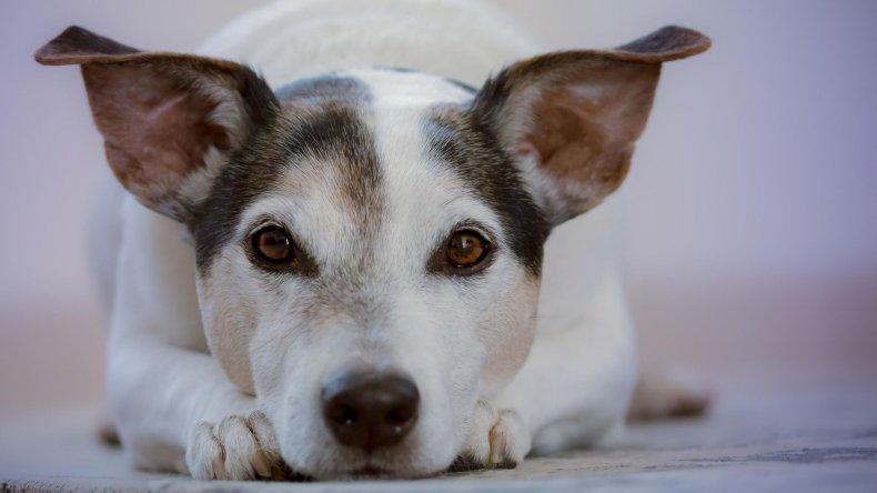 White dog staring at camera