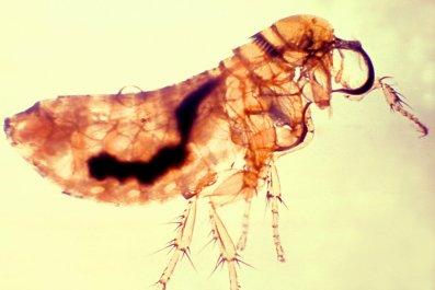 Yersinia pestis bacteria, flea