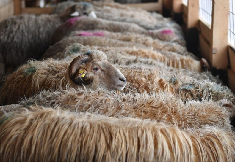 Sheep on boat