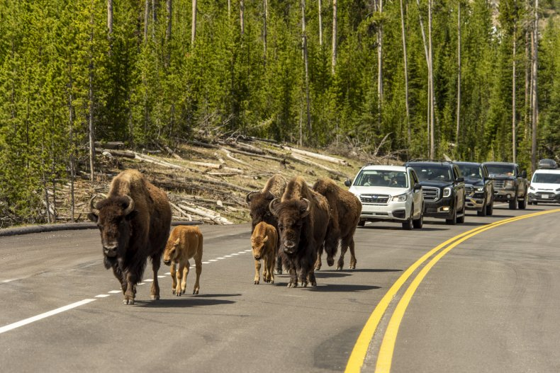 Bison in Yellowston